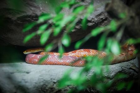 Corn snake on stone in the zoo