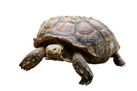 Desert tortoise isolated on white background Stock Photo