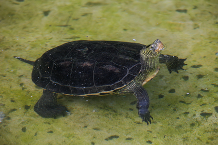 snapping turtle: Swimming snapping turtle on water  in the zoo