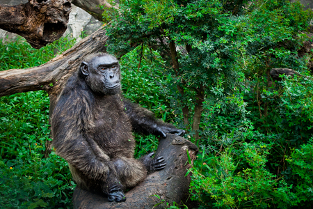 ngamba: Chimpanzee Sanctuary sit on tree at the zoo