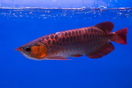 prehistoric fish: Asian Arowana fish in aQuarium on blue background Stock Photo