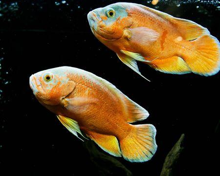 oscar: Oscar Fish in aquarium on nature background Stock Photo