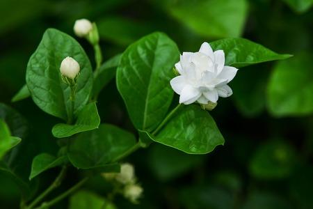 tree jasmine: Jasmine flower on tree and leaf on nature background Stock Photo