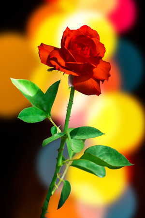 red rose bokeh: Red rose and leaf on background of bokeh