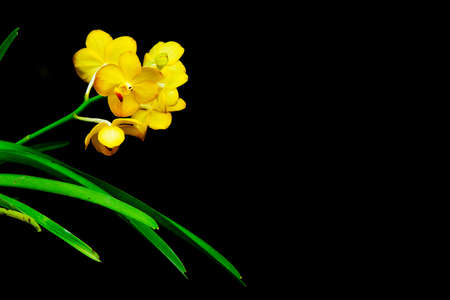 yellow orchid: Yellow orchid flowers close up for black background Stock Photo