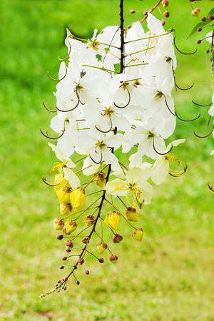 National tree of Thailand Golden Shower Tree Art Print