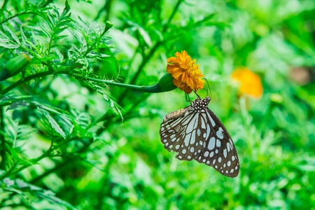 giant sunflower: monarch butterfly with marigold flower in the garden