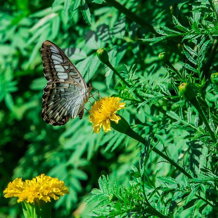 monarch butterfly with marigold flower in the garden