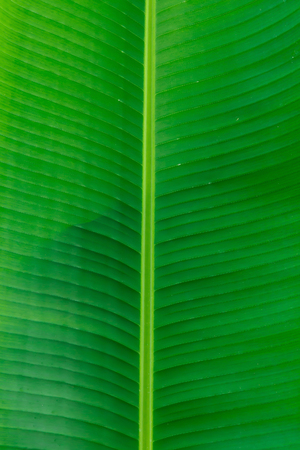 original ecological: Closeup of banana leaf texture abstract background Stock Photo