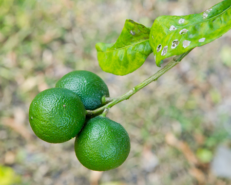 florida citrus: close up Lime tree with fruits in nature Stock Photo