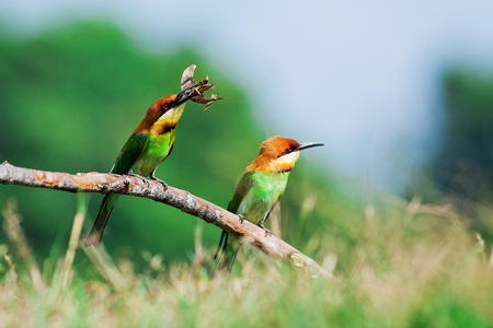 eater: A beautiful bird Chestnut headed Bee eater on a branch.(Merops leschenaulti)
