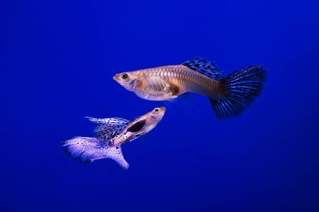 fineart: Capture the moving moment of white siamese fighting fish isolated on blue background. Stock Photo