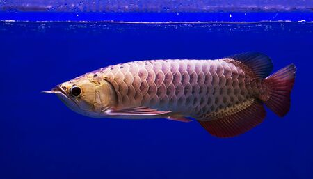 arowana: Asian Arowana fish in aQuarium on blue background Stock Photo