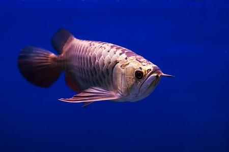 arowana: Asian Arowana fish in aQuarium on blue background Stock Photo