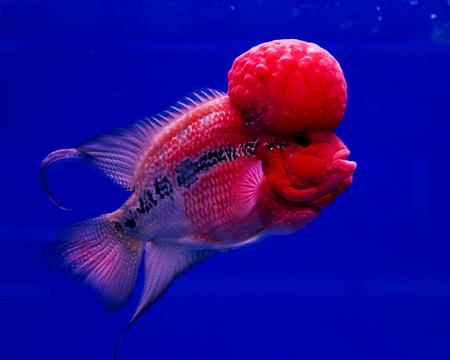 cichlid: aquarium fish, flower horn fish on blue screen