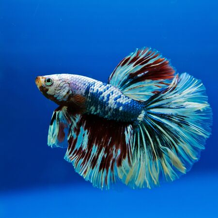capture the moment: Capture the moving moment of white siamese fighting fish isolated on blue background. Stock Photo