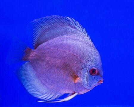 pompadour fish in aquarium on blue background