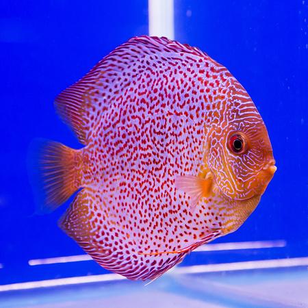 Orange Pompadour in aquarium on blue background