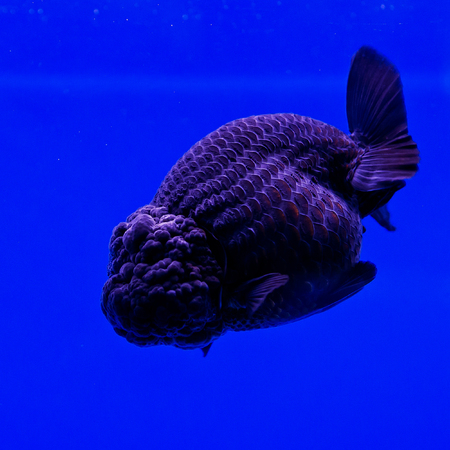 lionhead: Beautiful Black Oranda gold fish on blue background. Stock Photo