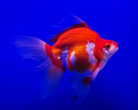 lionhead: Beautiful Ryukin gold fish on blue background.