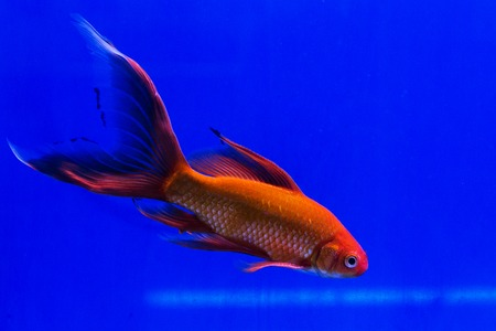 lionhead: Goldfish in a glass cabinet isolated on blue background