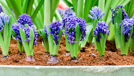 The blossoming mouse hyacinth racemose in pot