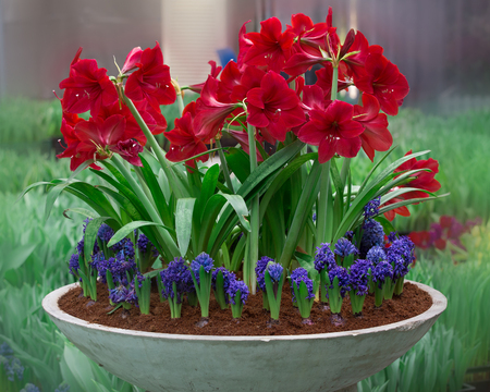 The blossoming mouse hyacinth racemose in pot and Amaryllis