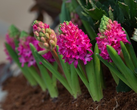 asparagus bed: The blossoming mouse hyacinth racemose in pot