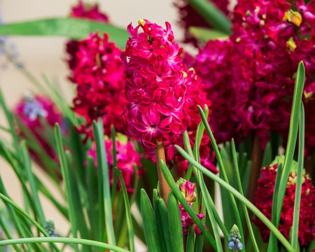 Beautiful Hyacinths flower and leaf in ground Stock Photo