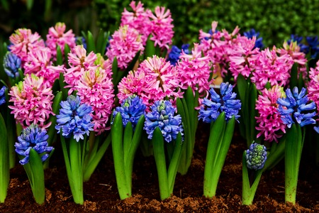 asparagus bed: Beautiful Hyacinths flower and leaf in ground Stock Photo