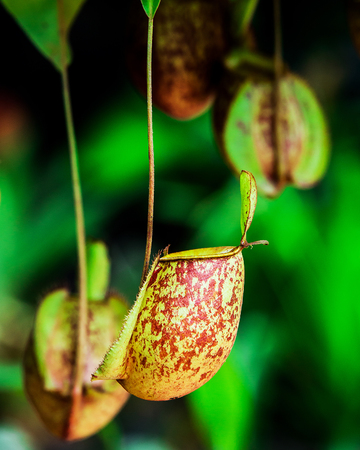 Nepenthes alata (alatus winged) is tropical pitcher plant endemic. Like all pitcher plants, it is carnivorous and uses its nectar to attract insects that drown in pitcher and are digested by plant