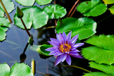 monet: This beautiful waterlily or lotus flower is complimented by the rich colors Stock Photo
