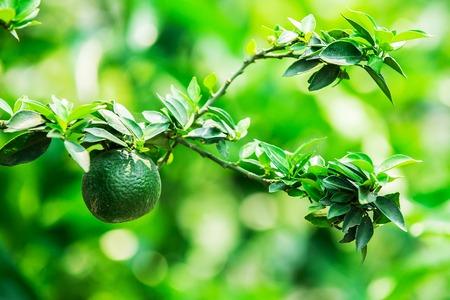 fresh green lemon on tree in garden