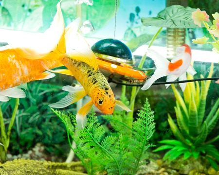 fantail: Goldfish in aquarium with green plants, and stones