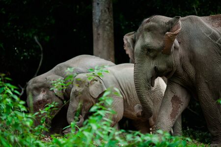 power giant: Thai elephants animals  in forest nature at Khao Yai Stock Photo