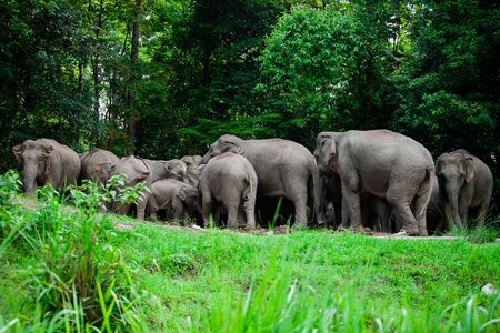 Thai elephants animals  in forest nature at Khao Yai Stock Photo