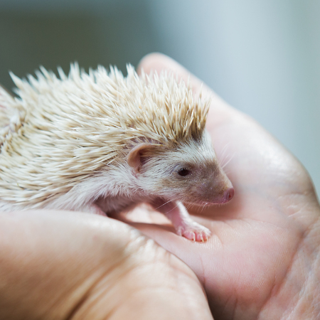 nice and cute sleepy African pygmy hedgehog rolled up in his hand at his breeder, cuddling and socializing