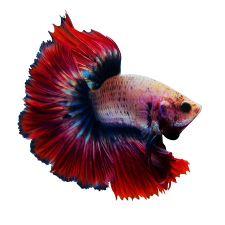 Siamese red fighting fish isolated on white background. Stock Photo