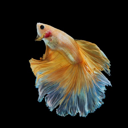 Siamese Yellow fighting fish isolated on black background. Stock Photo