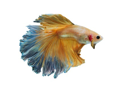 dragon swim: Siamese Yellow fighting fish isolated on White background
