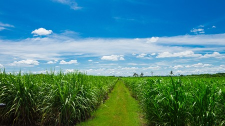 Sugarcane field in blue sky and white cloud in Thailand Stock Photo