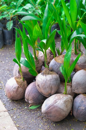 coconut seedlings: Sprout of coconut tree on ground in market