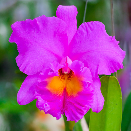 cattleya: Beautiful Cattleya orchid on tree in nature