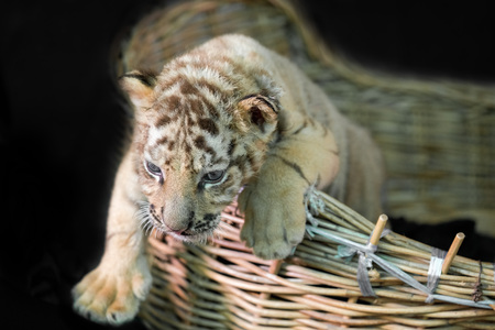 baby bengal tiger wantonly in Basket Stock Photo