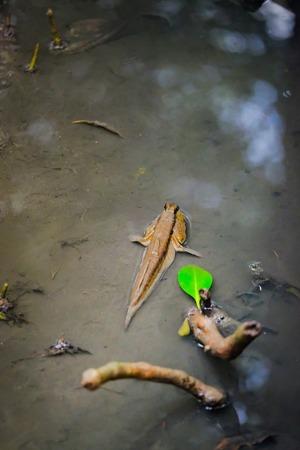 Mudskipper in water nature at  mangrove forest