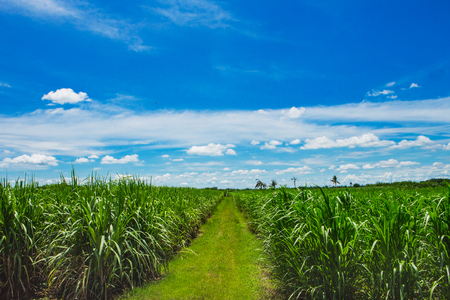 Sugarcane field in sunset sky and white cloud in Thailand Stock Photo