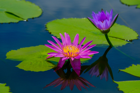 This beautiful waterlily or lotus flower is complimented by the rich colors Imagens