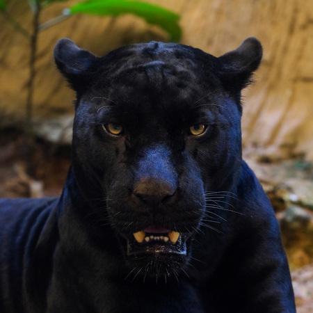 black panther shot close up Standard-Bild