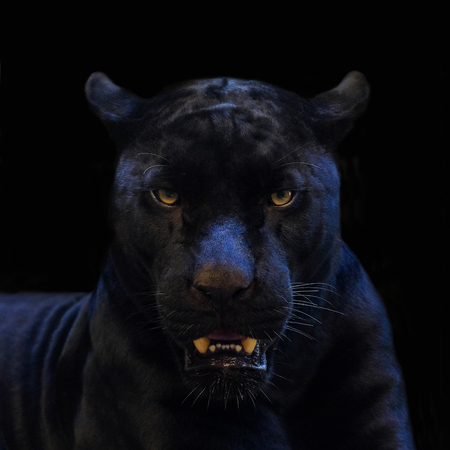 black panther shot close up with black background 写真素材
