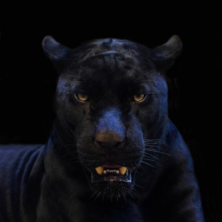 czarna pantera strzał z bliska z czarnym tłem